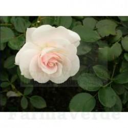 ROSE FOR MEN Set cadou barbati: sampon, gel de dus, crema maini